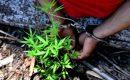 Polisi Amankan 2 Warga Tanam Ganja di Hutan Pangke Karimun