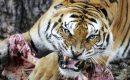 Dua Harimau Terkam Sapi Milik Warga Di Teluk Meranti